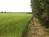 Grano e ulivi - Masseria Farache