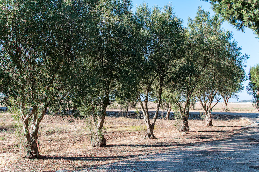 Ulivi masseria farache - Siepe di ulivo ...