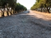 Filare di ulivo cipressino - Masseria Farache