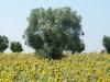 Ulivo e girasoli - Masseria Farache