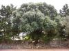 Ulivo selvatico - Masseria Farache