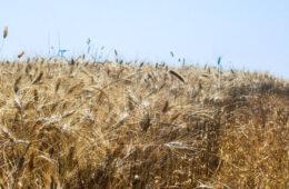 Il grano